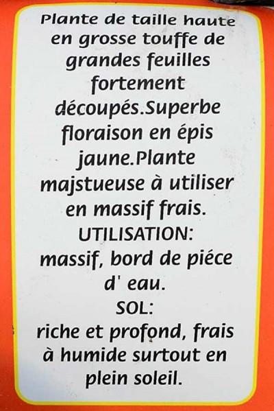 LIGULAIRE Przewalskii