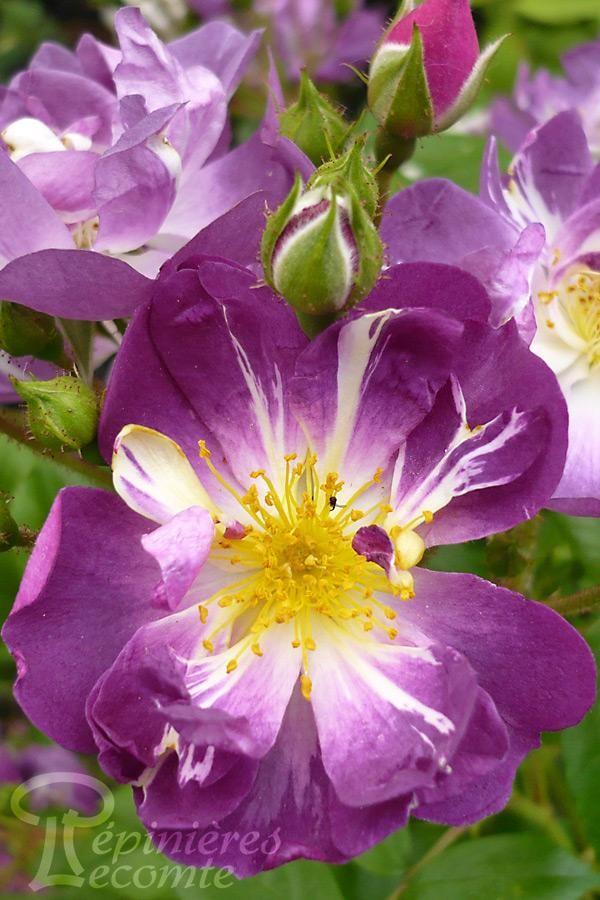 ROSIER Veilchenblau (Grimpant)