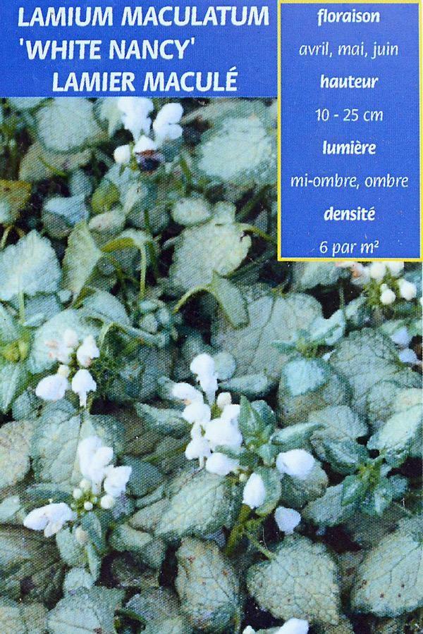 LAMIER Maculé 'White Nancy'