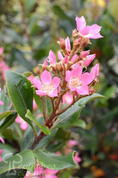 RHAPHIOLEPIS Springtime
