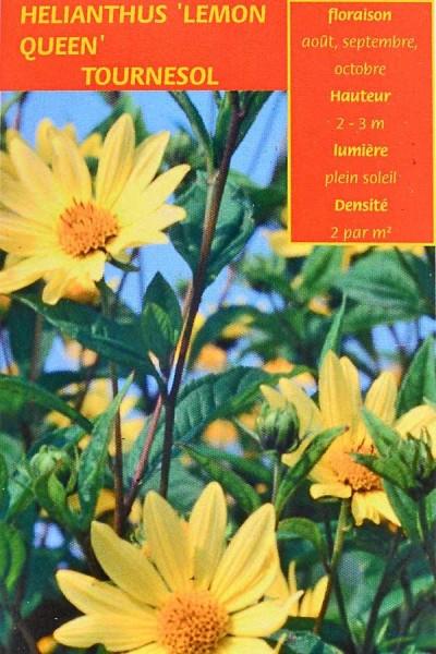 TOURNESOL 'Lemon-Queen'