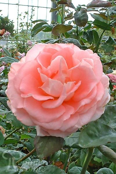 ROSIER Roses22_001 ®
