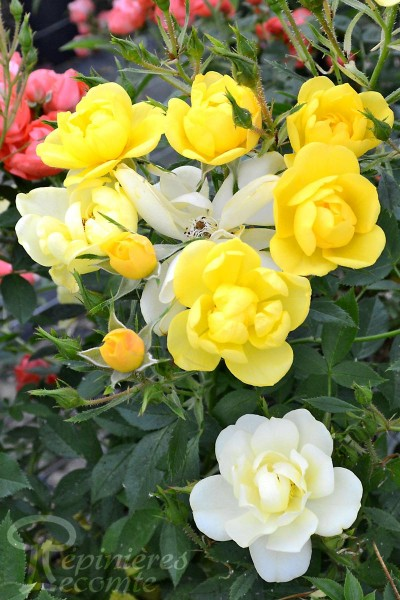 ROSIER Golden Age ® (Grimpant)