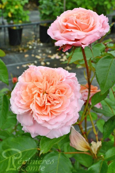 ROSIER Rose de Cornouaille®