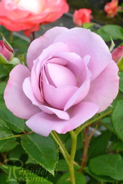 ROSIER Lady Perfume
