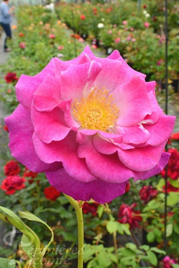 ROSIER Violette Parfumée ®