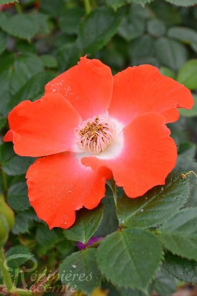 ROSIER Sunflor Orange Pins