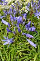 AGAPANTHE Pitchoune Bleu