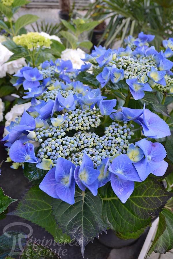 HORTENSIA Blue Maid