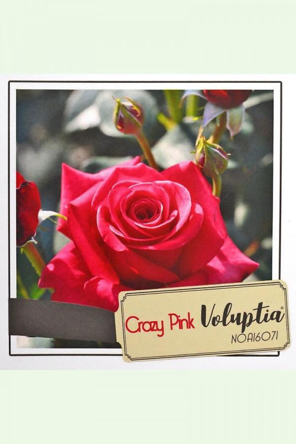 ROSIER Crazy Pink ® (Tige)