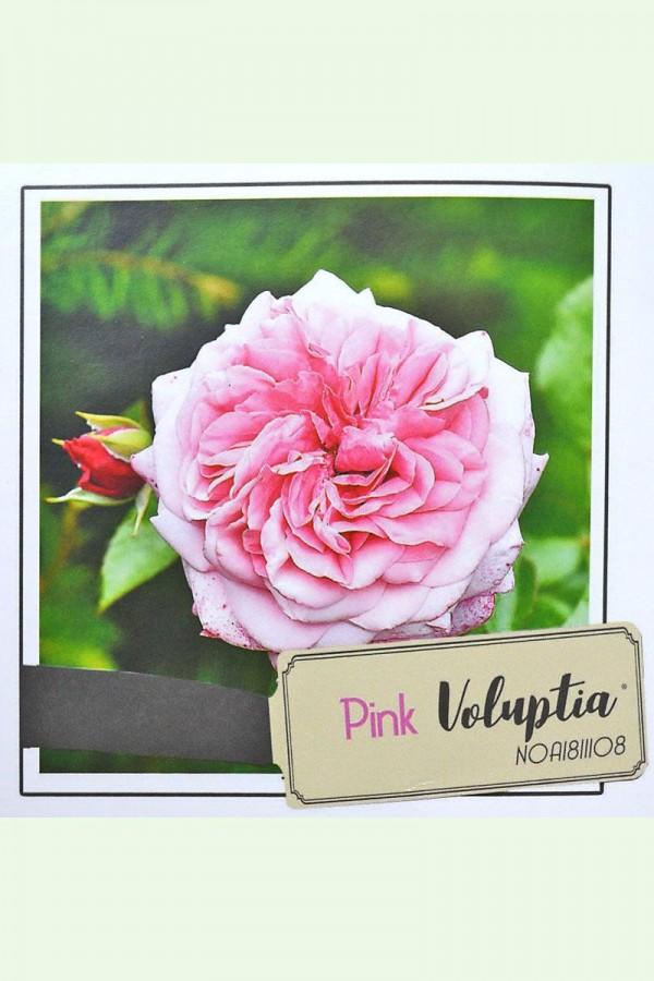 ROSIER Pink ® (Tige)