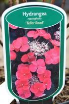 HORTENSIA Teller Rood