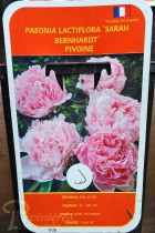 PIVOINE Herbacée 'Sarah Bernhardt'