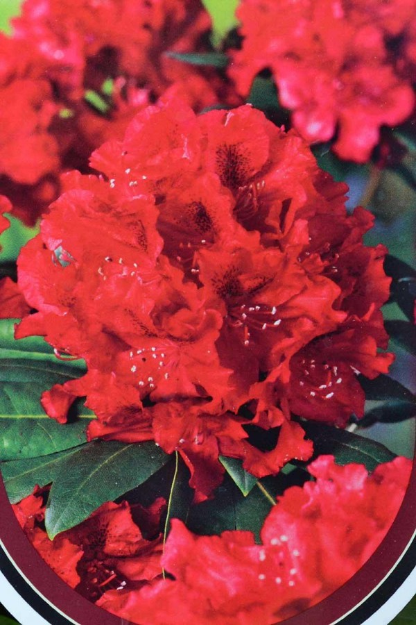 RHODODENDRON Vulcan's Flame