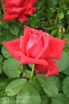 ROSIER Dame de Coeur ®