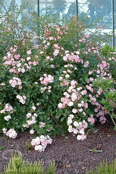 ROSIER Rose des Bois