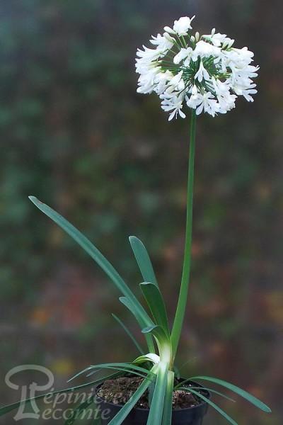 AGAPANTHE Umbellatus blanc Arctic Star