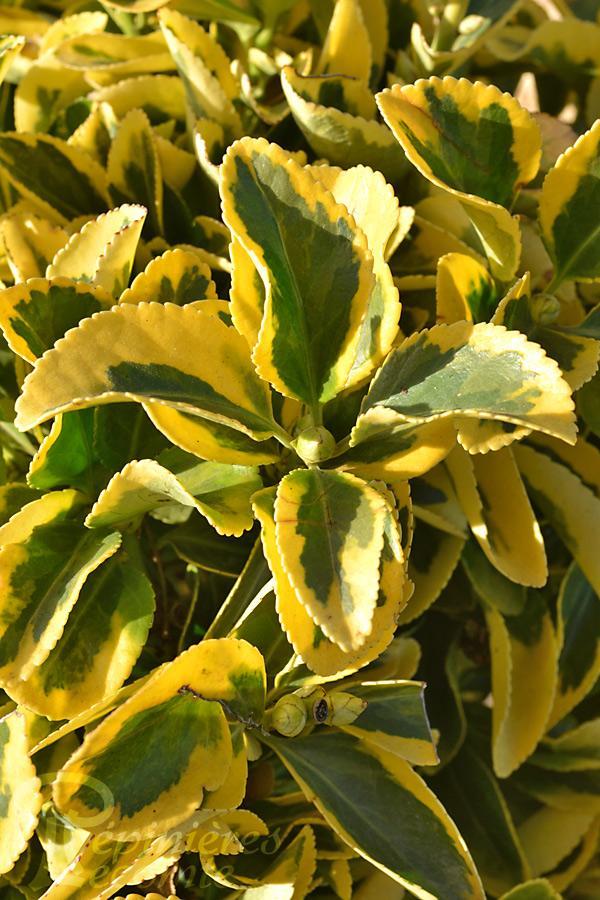 Fusain du japon aureomarginatus p pini re lecomte - Fusain du japon panache ...