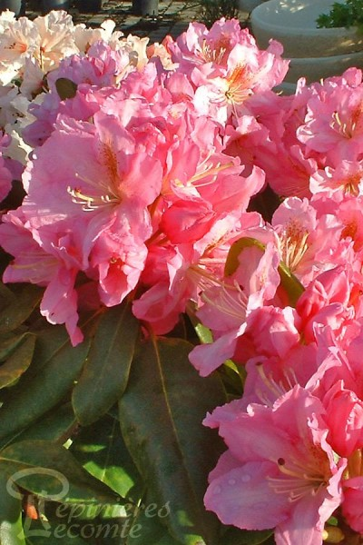 RHODODENDRON hybride Cosmopolitain