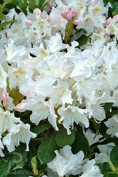 RHODODENDRON hybride Cunningham White