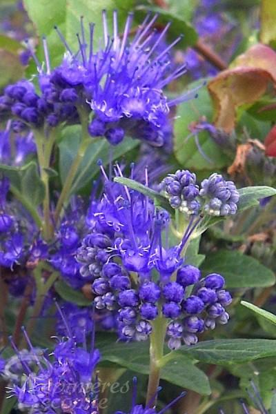 CARYOPTÉRIS de Clandon 'Grand bleu'