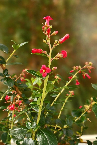 ESCALLONIA Rouge