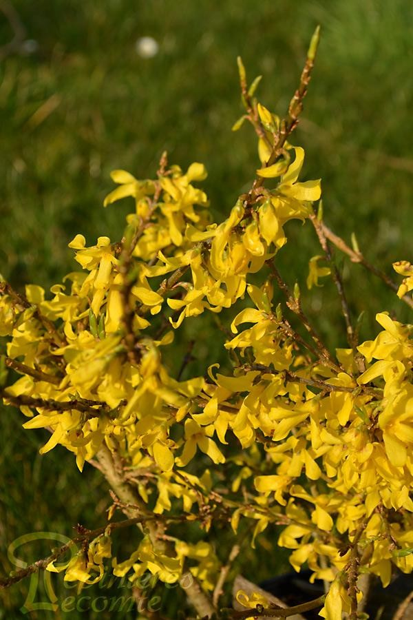 FORSYTHIA Mêlée d'Or® Courtaneur