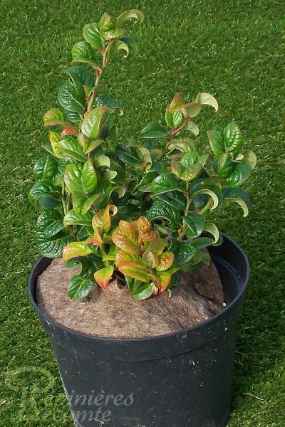 LEUCOTHOÉ Curly Red