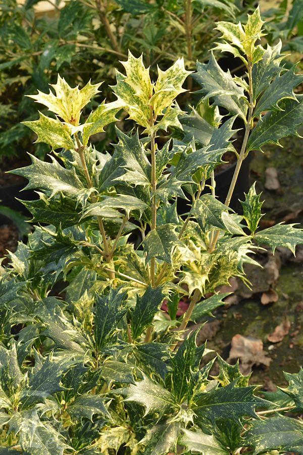 OSMANTHE à feuilles de Houx 'Goshiki'