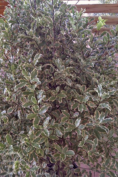 PITTOSPORUM Elisabeth